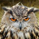This owl looks pretty cranky